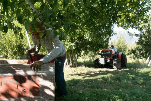 Outdoors in an apple orchard, one worker reaches into a wooden bin. Another drives a tractor in the background.
