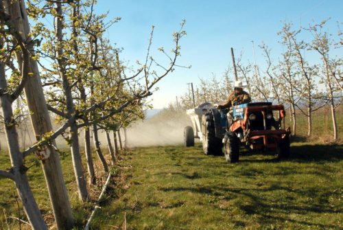 A worker rides a tractor through an orchard of small trees.
