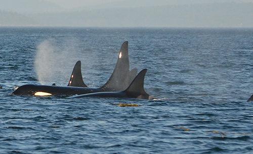 wild orcas breaching