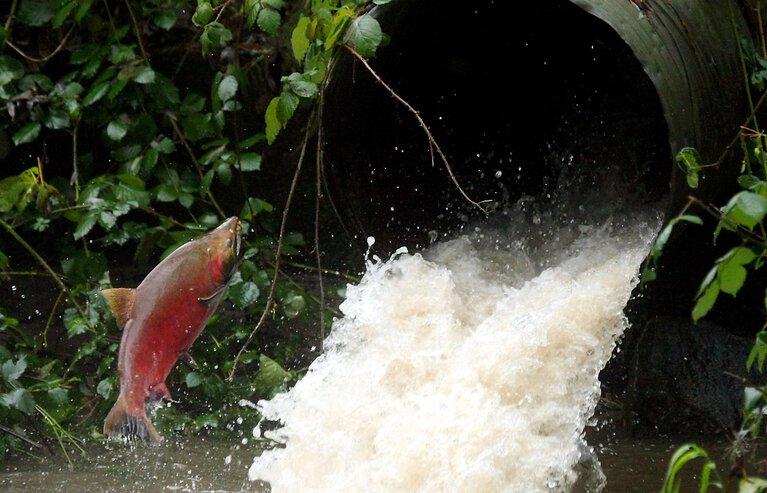 A coho salmon attempts to leap into a culvert at Otto Jarstad Park in Bremerton in 2011. The U.S. Supreme Court ruled in 2018 that the state fix 425 Western Washington fish passages. (Meegan M. Reid / Kitsap Sun, File)